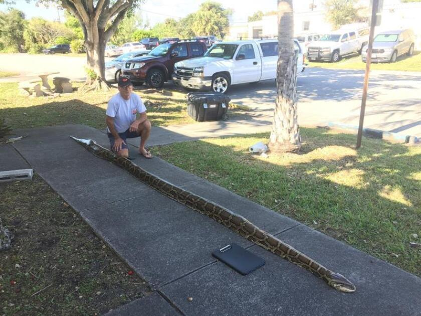 photo sent by the Florida's Fish and Wildlife and Conservation Commission (FWC) of a person standing next to a 18 ft long python captured in Miami, Florida on Dec. 19, 2018. EFE/MyFWC/