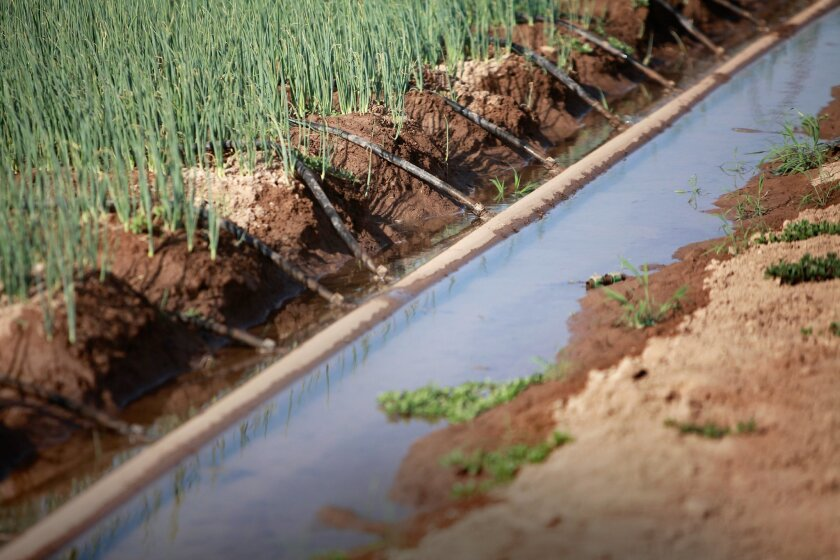 Near the U.S. border, farmers of Modulo 4 irrigation district have made strides in water conservation in the Mexicali Valley, using drip irrigation on rows of green onions.
