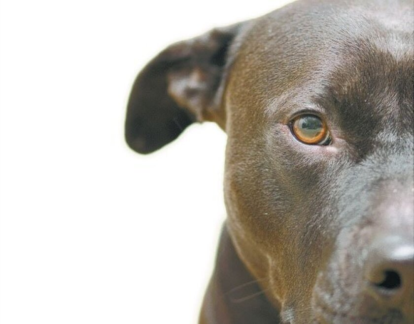 close up of a pit bull