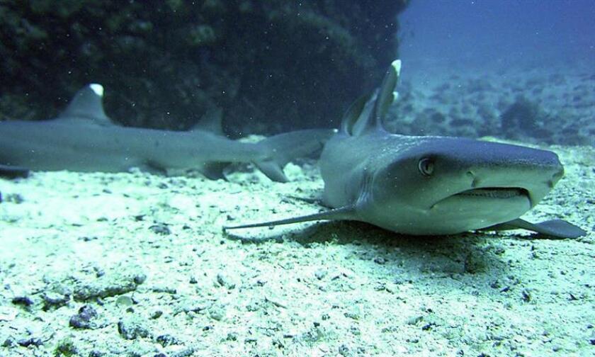 Científicos mexicanos elaboraron un sistema para determinar las zonas prioritarias en la conservación de tiburones en el Golfo de México y el Caribe, informó hoy el Consejo Nacional de Ciencia y Tecnología (Conacyt). EFE/Archivo