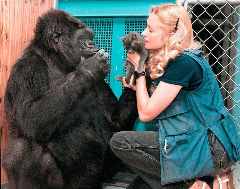 1996: Dr. Francine Patterson plays with Koko and her kitty-cat pal. Koko knows 2,000 words in sign language.