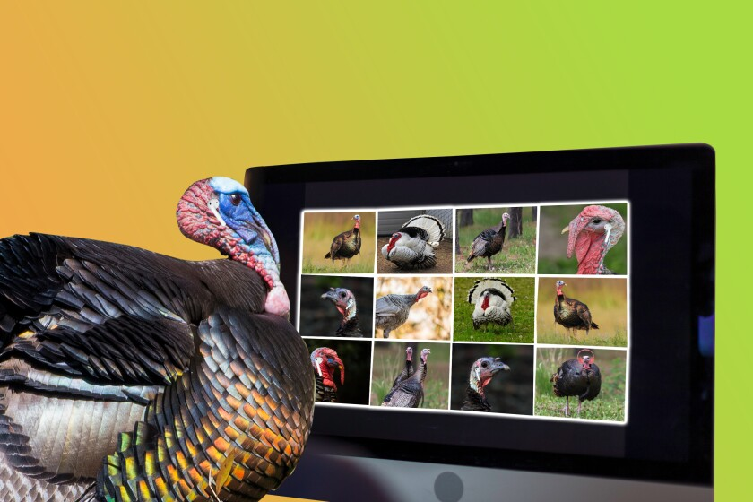 Photo illustration of a turkey on a Zoom call