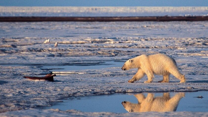 A polar bear walks in the Arctic National Wildlife Refuge, a habitat at dire risk from global warming.