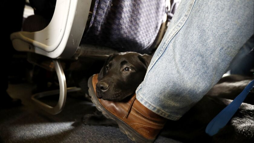 A service dog named Orlando rests on the foot of its trainer awaiting a flight. Should animals on planes be limited to trained service animals? What of emotional support animals? Reader weigh in.