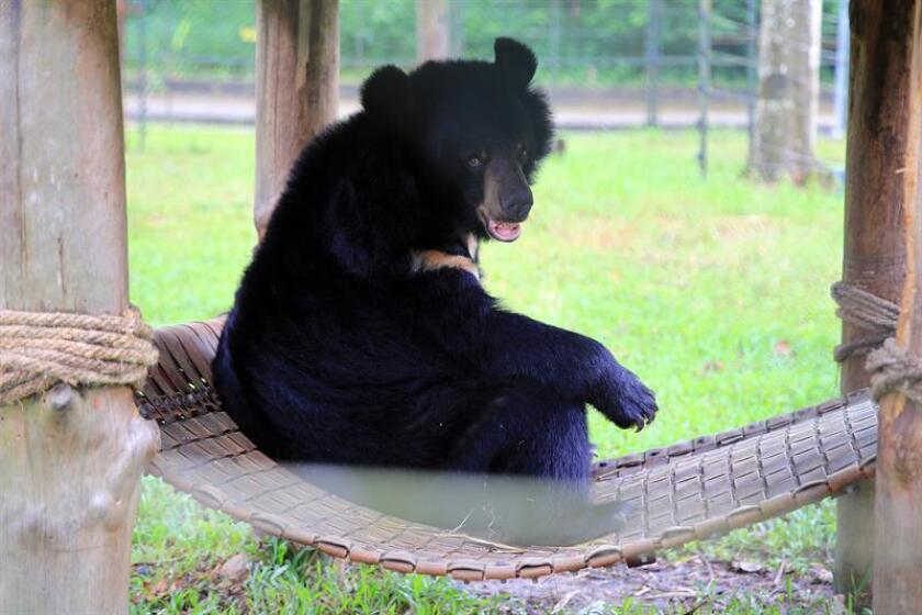 Un oso negro juega en sus instalaciones del centro de rescate para osos de Vietnam, dirigido por la organización internacional 'Animals Asia', en el parque nacional de Tam Dao, a 70 km de Hanoi, Vietnam. EFE/Archivo