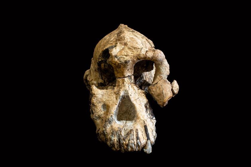 3.8-million-year-old hominin cranium