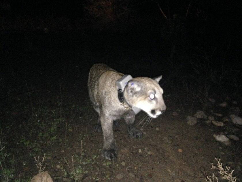 The 14-month-old female mountain lion was captured in a Ventura County mobile home community and released, above, by California Department of Fish and Wildife.