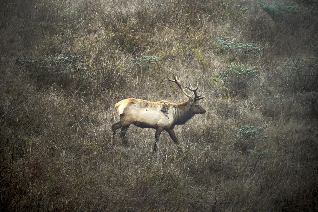 Tule elk roams in its reserve in Point Reyes National Seashore.