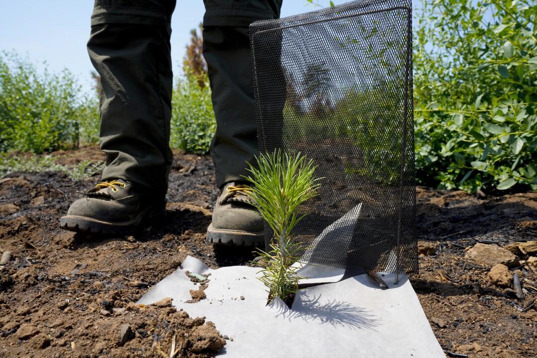 Lisa Gonzales-Kramer, spécialiste de l'environnement au parc d'État de Cuyamaca Rancho, se tient à côté d'un semis de pin.