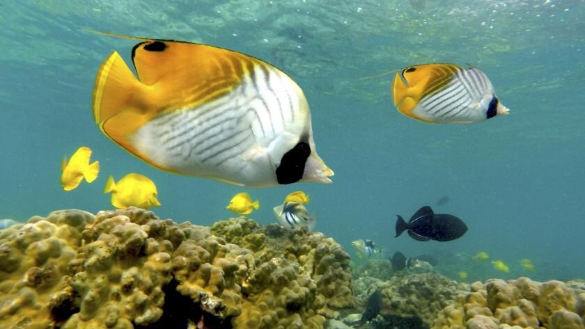 Snorkel Bob's on several Hawaiian islands was chosen best snorkeling/scuba rental outfit by readers of Hawaii Magazine.