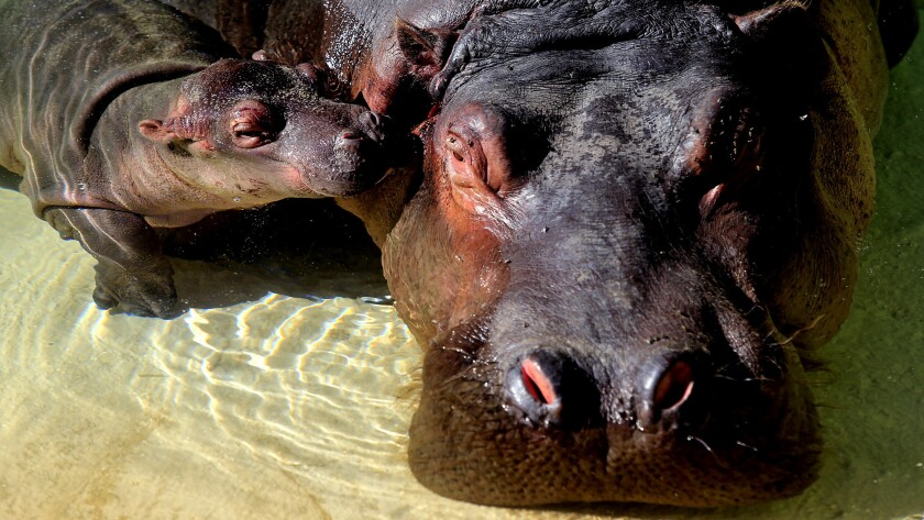 The hippo calf nuzzles with its mother, Mara, at a media event at the L.A. Zoo on Tuesday.