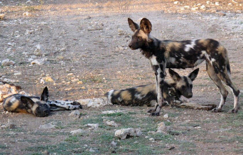 In this picture taken on Saturday, Feb. 20, 2016, African wild dogs are seen at private game lodge in Limpopo-Lipadi, Botswana. The African wild dog, an endangered species with big ears and a patchy white, yellow and black pelt, is a footnote to other imperiled animals such as the lion and rhino, which are viewed as having gravitas that the wild dog supposedly lacks. Limpopo-Lipadi has 17 wild dogs; the population was reduced to half a dozen around the end of 2014 because of rabies, but recovered with the birth of pups. (AP Photo/Christopher Torchia)