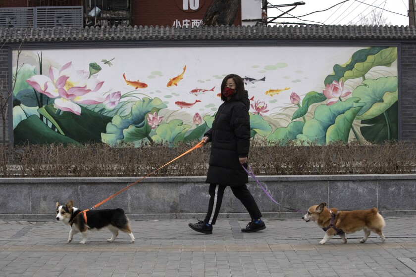 FILE - In this Feb. 25, 2020, file photo, a resident wearing mask walks her dogs in Beijing. Pet cats and dogs cannot pass the new coronavirus on to humans, but they can test positive for low levels of the pathogen if they catch it from their owners. That's the conclusion of Hong Kong's Agriculture, Fisheries and Conservation Department after a dog in quarantine tested weak positive for the virus Feb. 27, Feb. 28 and March 2, using the canine's nasal and oral cavity samples. (AP Photo/Ng Han Guan, File)