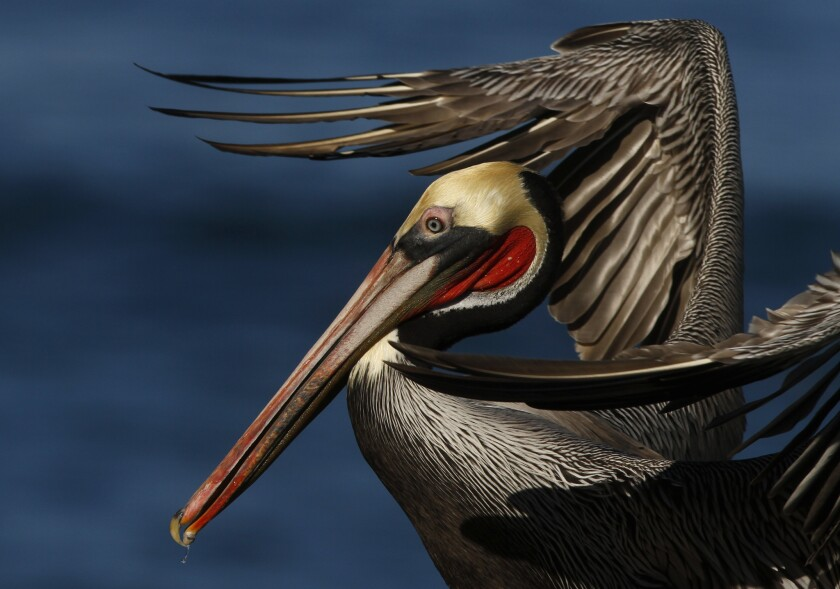 Good wildlife viewing (like this pelican) at La Jolla Cove in San Diego, which made Family Vacation Critic's top 10 list of best family beaches in the U.S.
