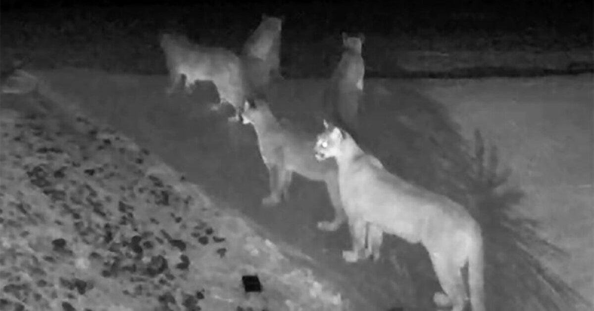 Eine große Katze-Konvention? Seltenen Videoaufnahmen fünf Berglöwen hängen zusammen