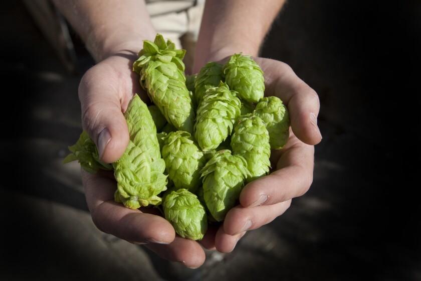 Fresh Hops Ready for Beer