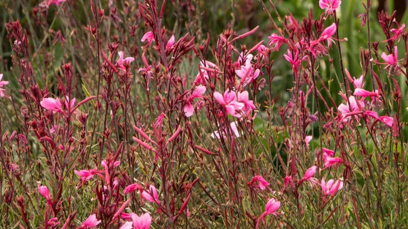 'Little Janie' gaura lindhemeri has pretty pink flowers and thrives in hot, dry areas.