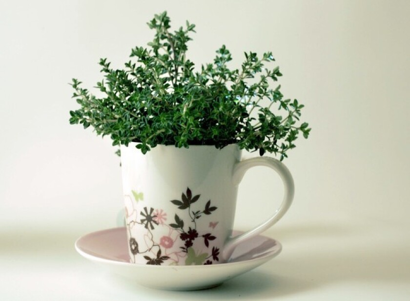 Thyme planted in a teacup.