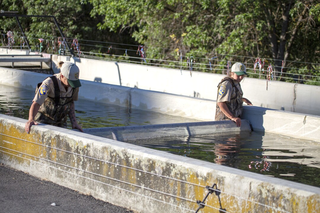 Juvenile chinook salmon are herded in a raceway by staff at the Iron Gate Fish Hatchery in Siskiyou County.