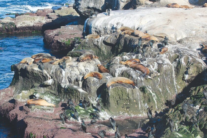 The growing number of sea lions along the cliffs at La Jolla Cove is causing problems for businesses and beach-goers.