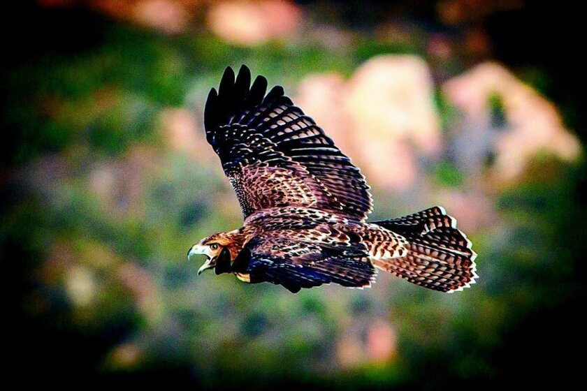 Red Tailed Hawks Are A Commanding Presence In San Diego Skies The San Diego Union Tribune