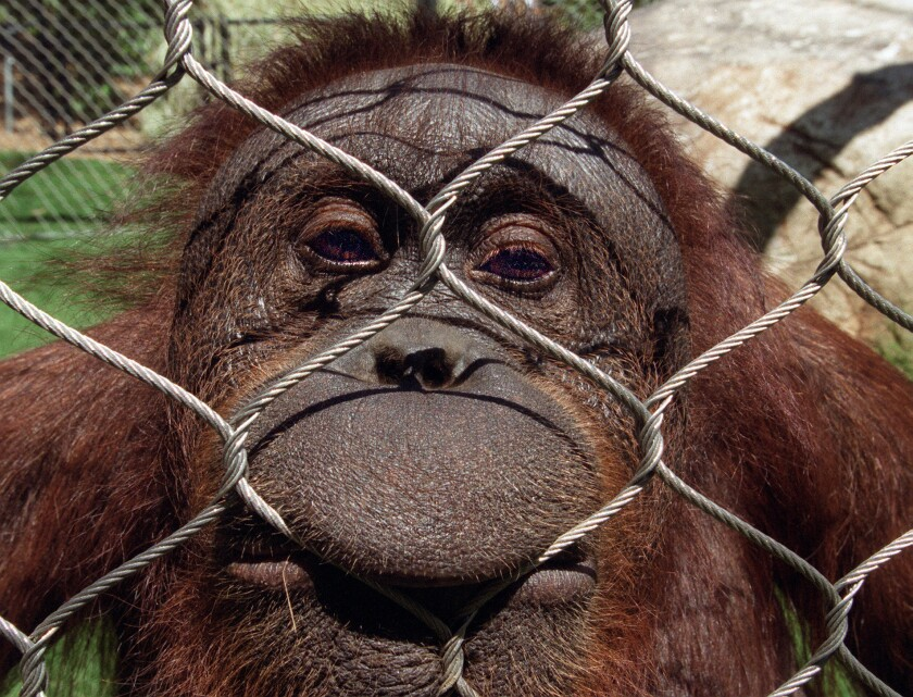 Orangutan scratches intruder who scaled Fresno zoo enclosure