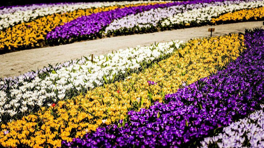 A field of tulips at the Keukenhof.