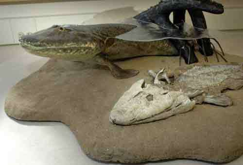 This undated handout photo released by the University of Chicago shows a model of a newly discovered species, Tiktaalik roseae, with a crocodile-like head that apparently moved on land like a seal _ an important discovery for understanding how fish evolved into land animals with four limbs and a backbone.