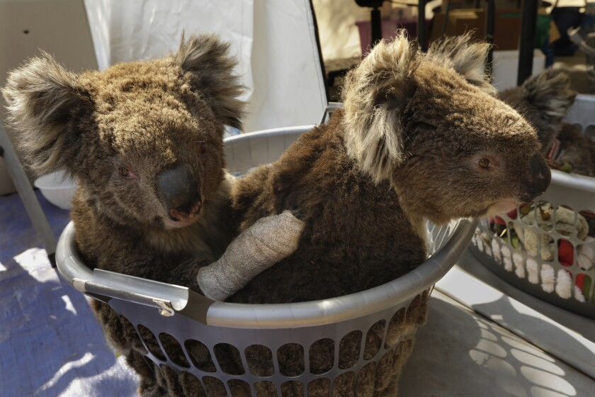 Two injured koalas wait for treatment at the Kangaroo Island Wildlife Park.