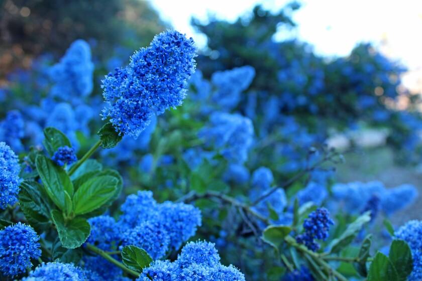 California native shrub ceanothus blooms at the California Botanic Garden in Claremont.