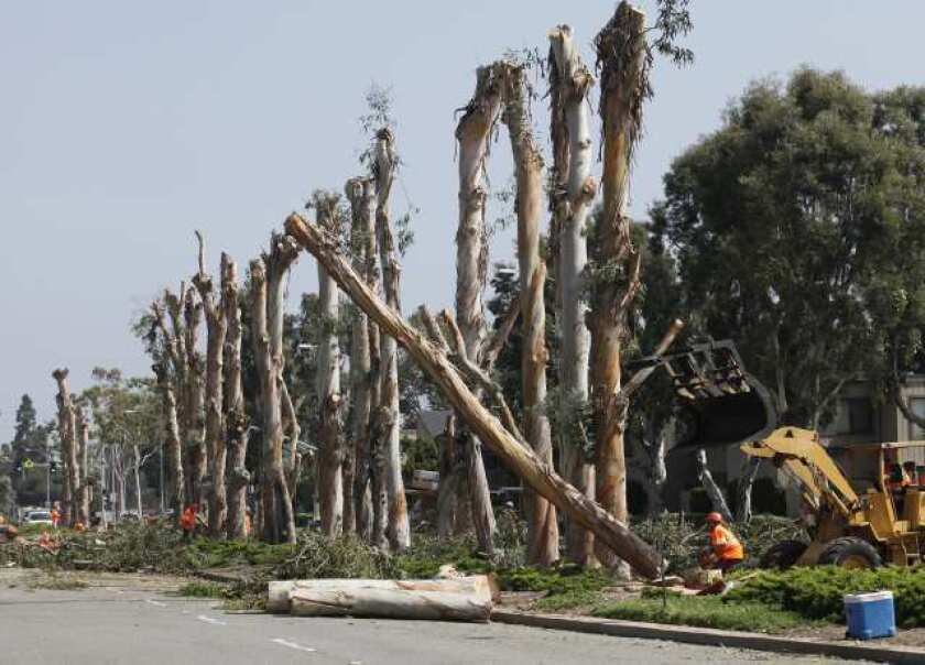 An employee with West Coast Arborists, Inc. takes down one of many eucalyptus trees along Irvine Avenue  on Wednesday.