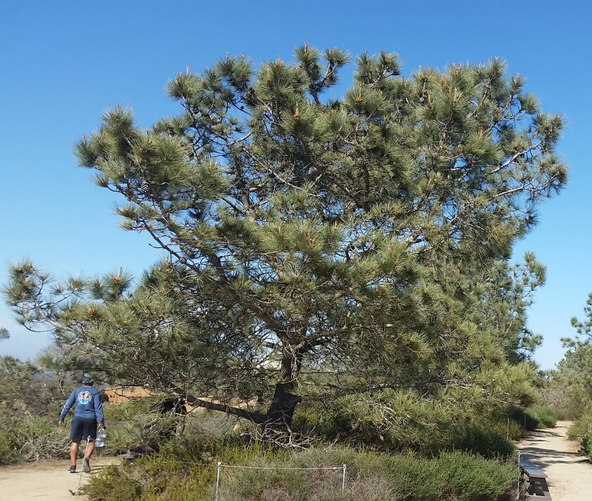 The Torrey pine can only be found on the San Diego County mainland and on Santa Rosa Island.