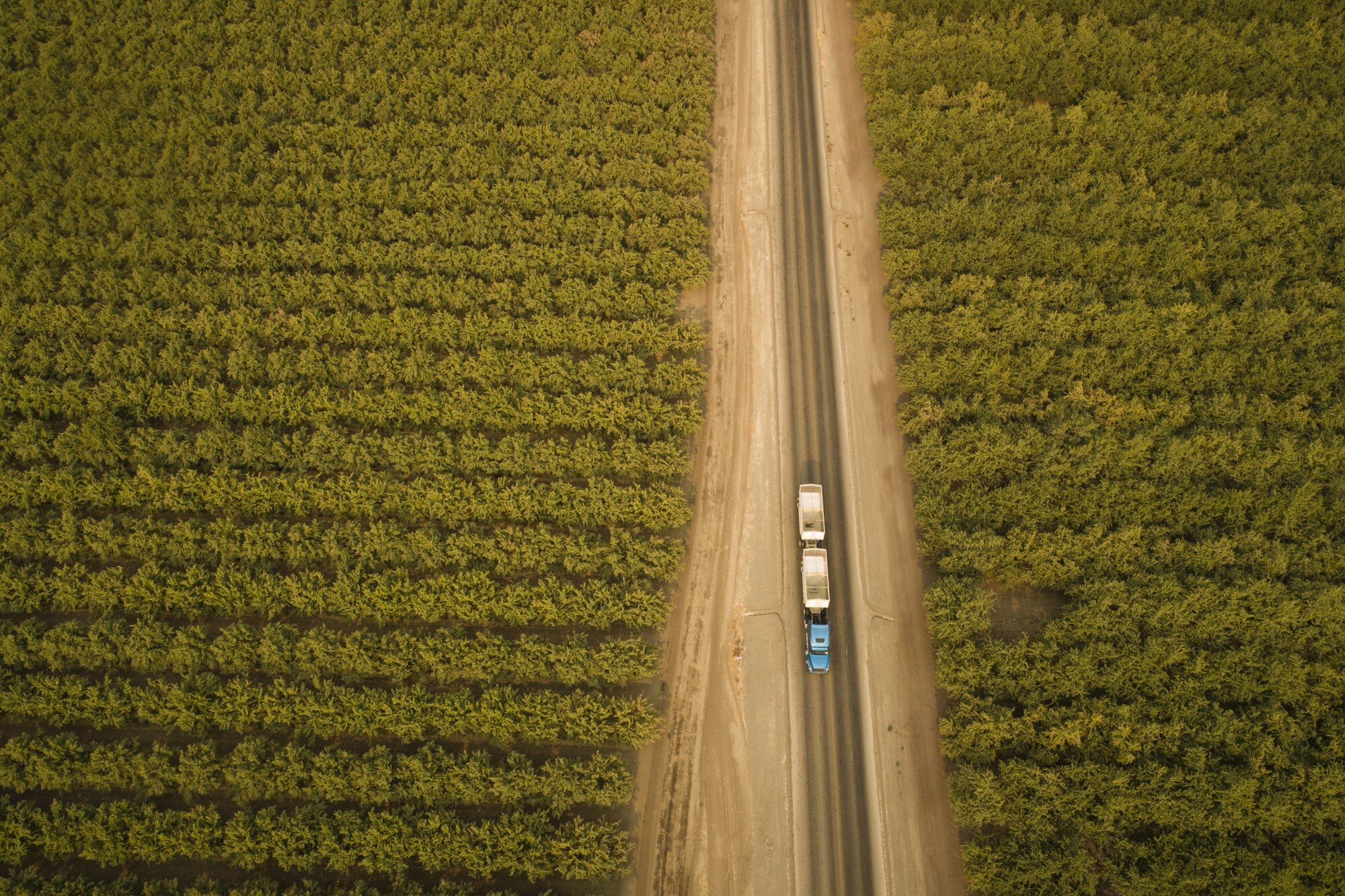 A truck rolls through nut trees almost ready for harvest near Cantua Creek.