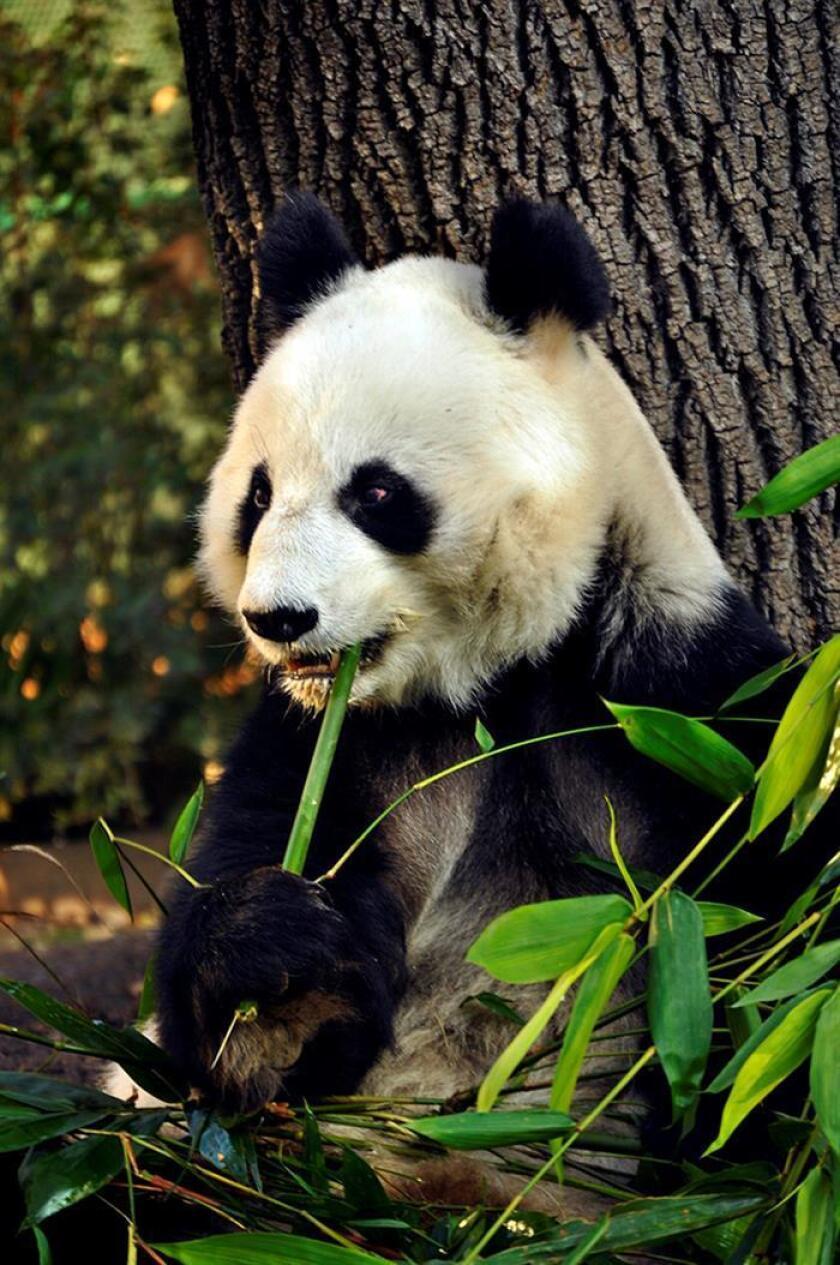 Fotografía cedida por el Gobierno de la Ciudad de México hoy, jueves 14 de junio de 2018, que muestra a la panda gigante Shuan Shuan, mientras come, en Ciudad de México (México). EFE/Gobierno de la Ciudad de México/SOLO USO EDITORIAL
