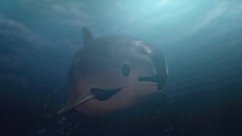 "A vaquita swimming underwater in the documentary ""Sea of Shadows."""