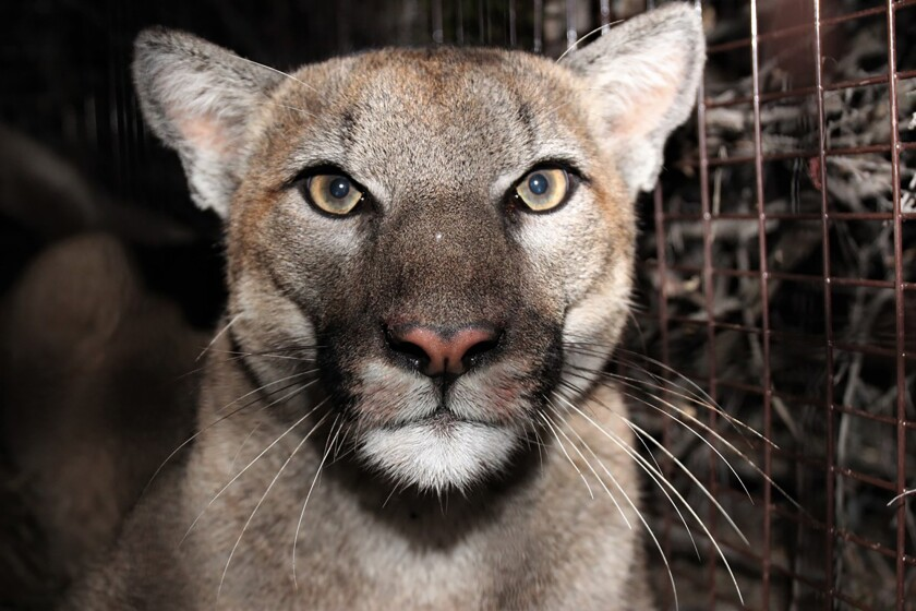 When will mountain lions in Los Angeles County stop being killed by cars and rat poison?