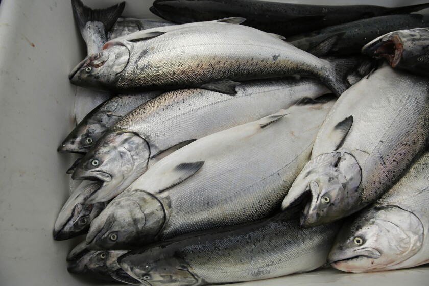 California king salmon rebounds after years of drought - Los