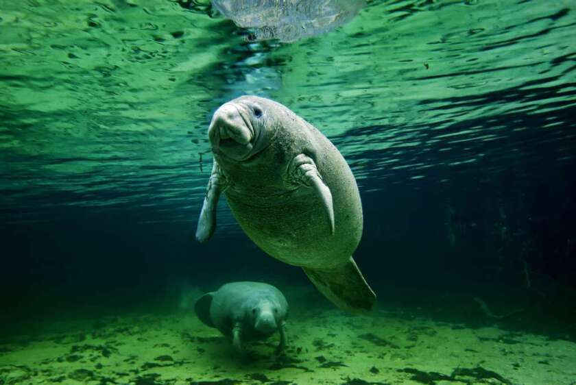 Manatees could lose their endangered species status