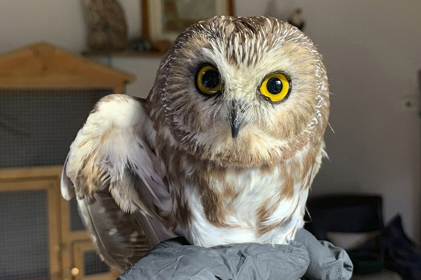 A saw-whet owl got a clean bill of health after being found on the Rockefeller Center Christmas tree in New York.