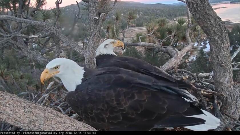 Bald eagles in Big Bear Lake.