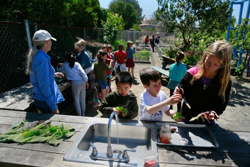 Second-graders Jiali Chen (left) and Max Davidson and fifth-grader Sasha Nikitin prepare pieces of lettuce for consumption during the Garden Lunch Club at Del Mar Heights Elementary.