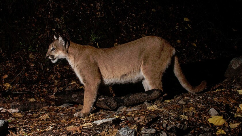 Mountain lion photographed in the Verdugo mountains