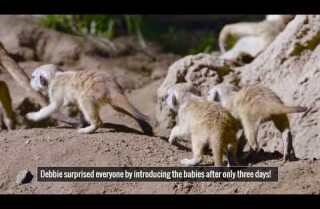 Meerkat pups at the San Diego Zoo