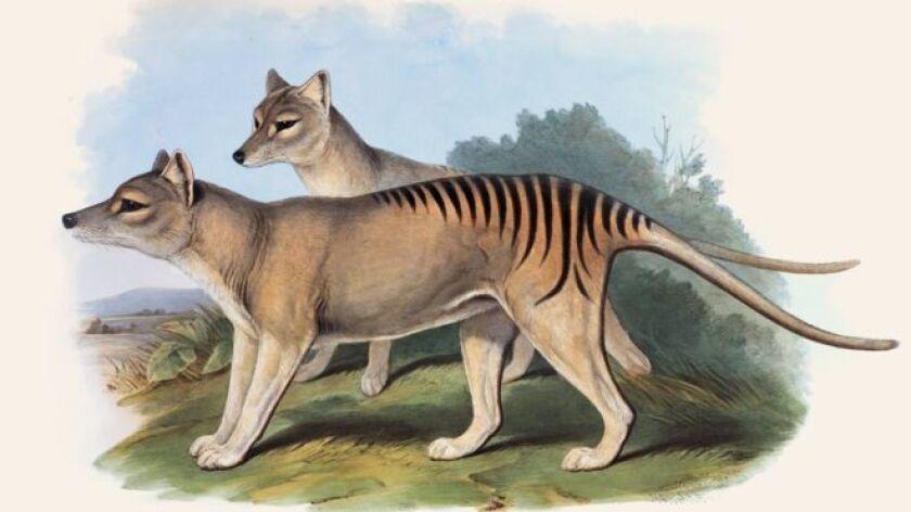 El tigre de Tasmania fue el marsupial carnívoro más grande del mundo