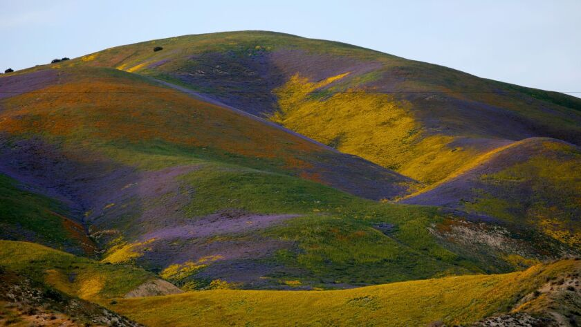 Wildflowers bloom on the Temblor Range in Carrizo Plain National Monument
