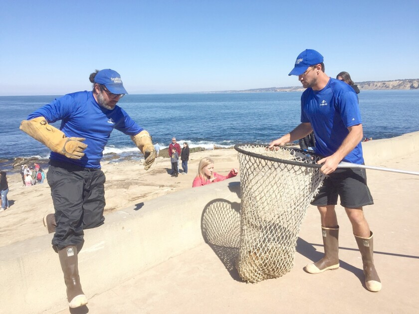 SeaWorld San Diego rescue workers Jonathan Diaz and Miles Teague net a malnourished sea-lion pup at La Jolla Cove on Feb. 24.