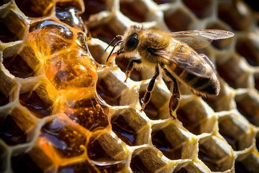 A bee feeding on honey from a honeycomb at the Bee Museum in Duisburg, Germany. EFE/File