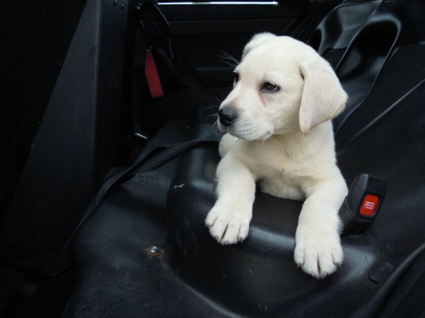 A stolen Labrador puppy lounges in an El Cajon police car Saturday morning after he was returned to police. The dog had been stolen from a backyard a day earlier.