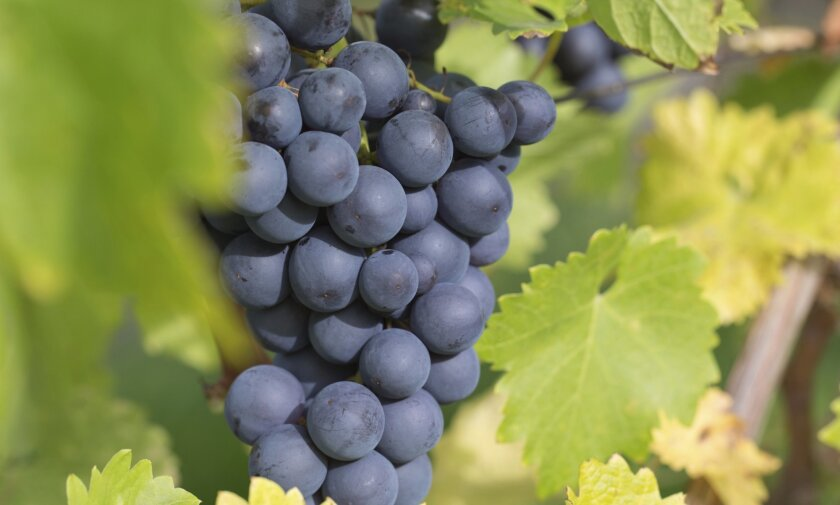 Red wine grapes, such as syrah grapes, are easy to grow in our region.
