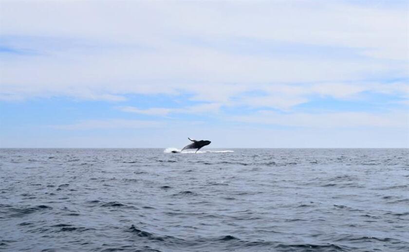 Imagen sin fecha cedida por la Procuraduría Federal de Protección al Ambiente (Profepa) de México hoy, lunes 20 de febrero de 2017, del avistamiento de una ballena en las costas del estado mexicano de Baja California Sur. EFE/Profepa/SOLO USO EDITORIAL